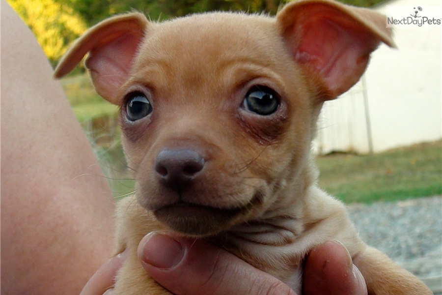 chihuahua for sale in va chihuahua puppy for sale near fredericksburg virginia 1771