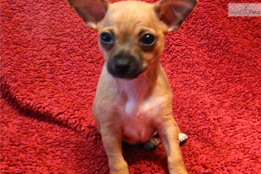 chihuahua for sale in va chihuahua puppy for sale near fredericksburg virginia 581