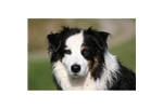 Featured Breeder of Australian Shepherds with Puppies For Sale