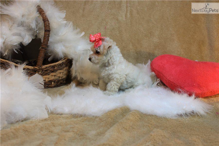 Malti Poo - Maltipoo puppy for sale near Missouri USA