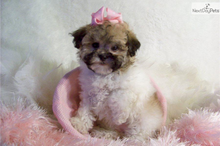 Meet Fi Fi A Cute Pekepoo Puppy For Sale For 599 Fi Fi