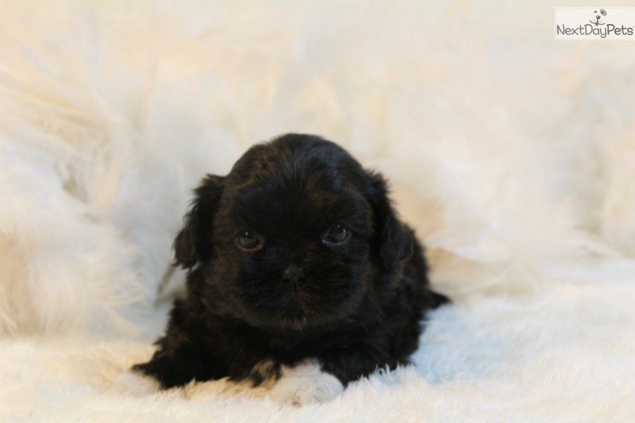 Sunny Shih Tzu Puppy For Sale Near St Louis Missouri 22822738 E321