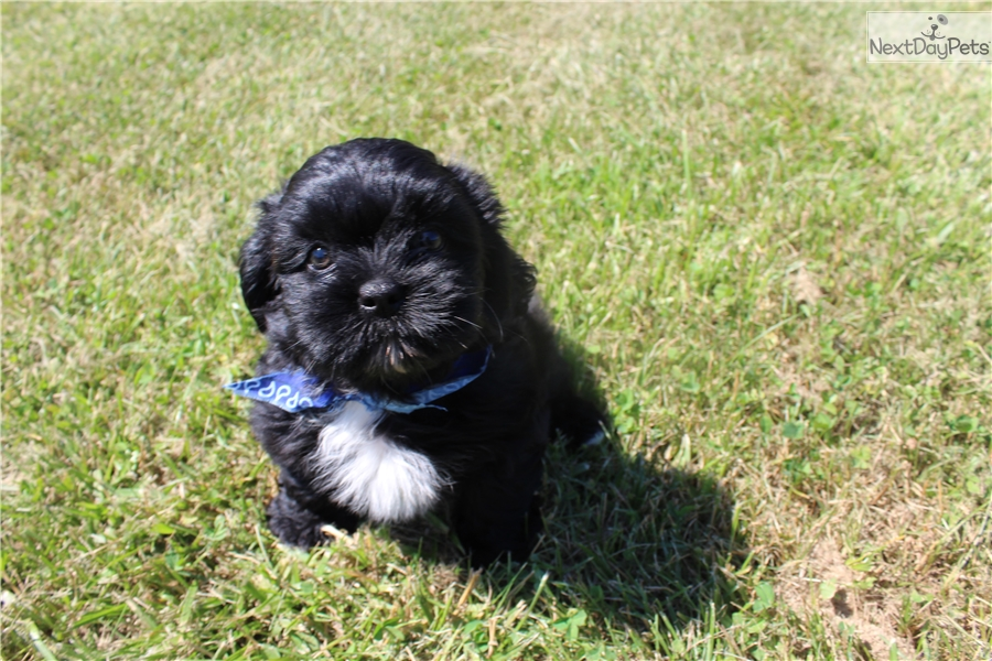 Shih Tzu Puppy For Sale Near St Louis Missouri 4cb0fc68 E8e1