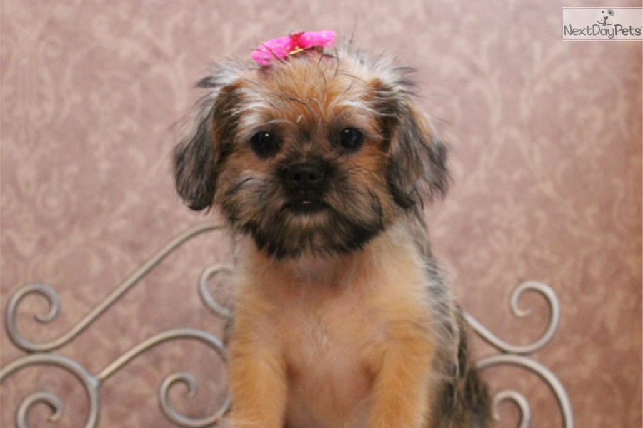 Elly Shih Tzu Puppy For Sale Near St Louis Missouri Bfdce285 5fb1