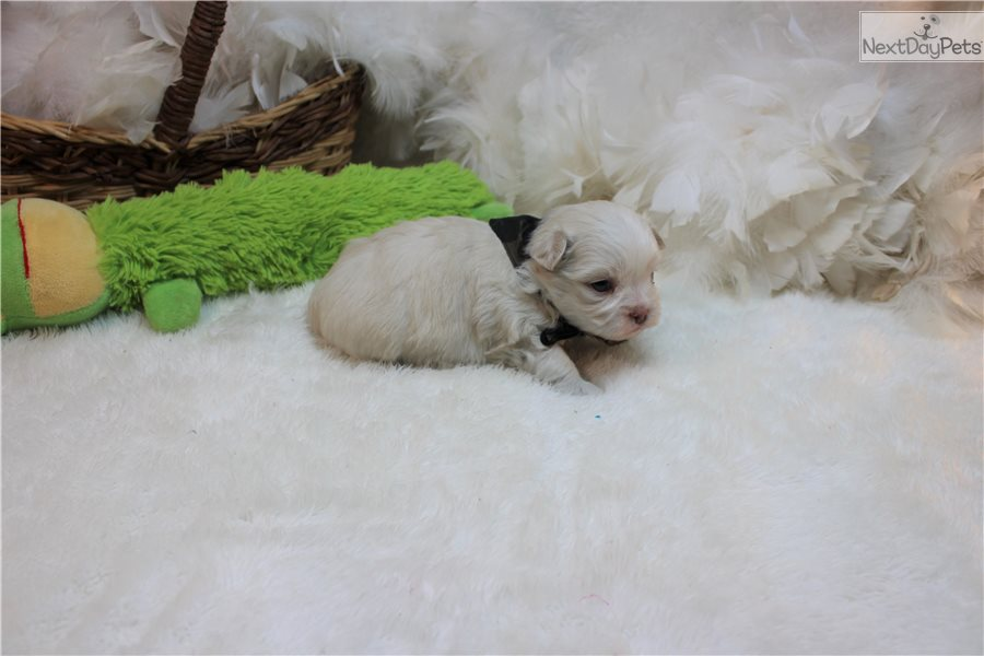 Shih Tzu Puppy For Sale Near St Louis Missouri 6c8f3bb2 10e1