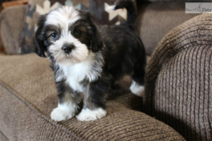 Otis Shih Tzu Puppy For Sale Near St Louis Missouri E614e15c 1ac1