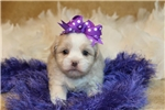 Picture of a Pekepoo Puppy