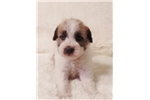 Picture of a Schnoodle Puppy