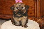 Picture of a Shorkie Puppy