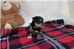 Picture of Adam - Mr. Cute! Yorkie Poo Boy!