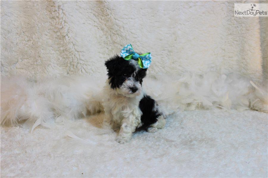 Yorkiepoo Yorkie Poo Puppy For Sale Near St Louis Missouri