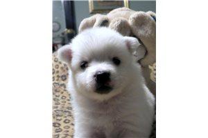 American Eskimo Dogs for sale