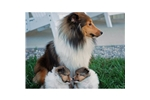 Featured Breeder of Shetland Sheepdog Shelties with Puppies For Sale