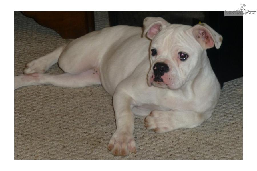 american bulldog for sale in texas american bulldog puppy for sale near houston texas 2948