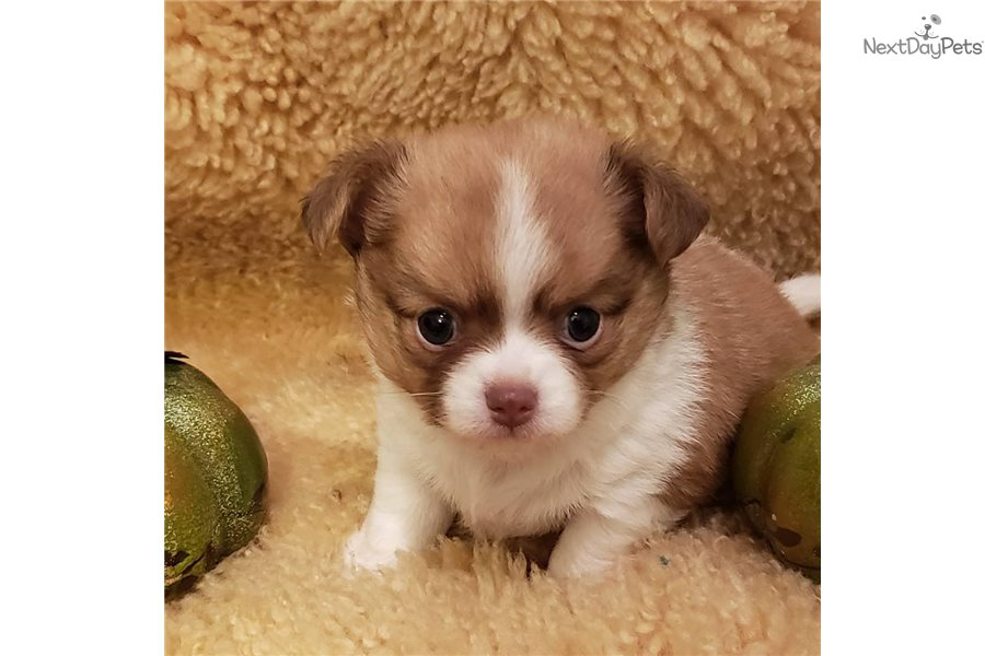 Imgenes De Long Hair Chihuahua Puppies For Sale In Houston Texas
