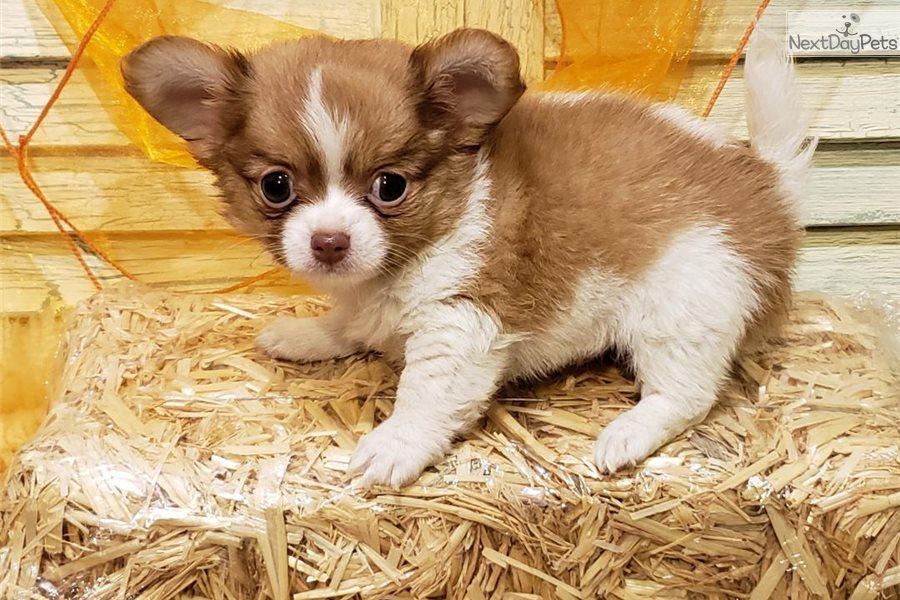 Teddy Bear Chihuahua Puppy For Sale Near Houston Texas