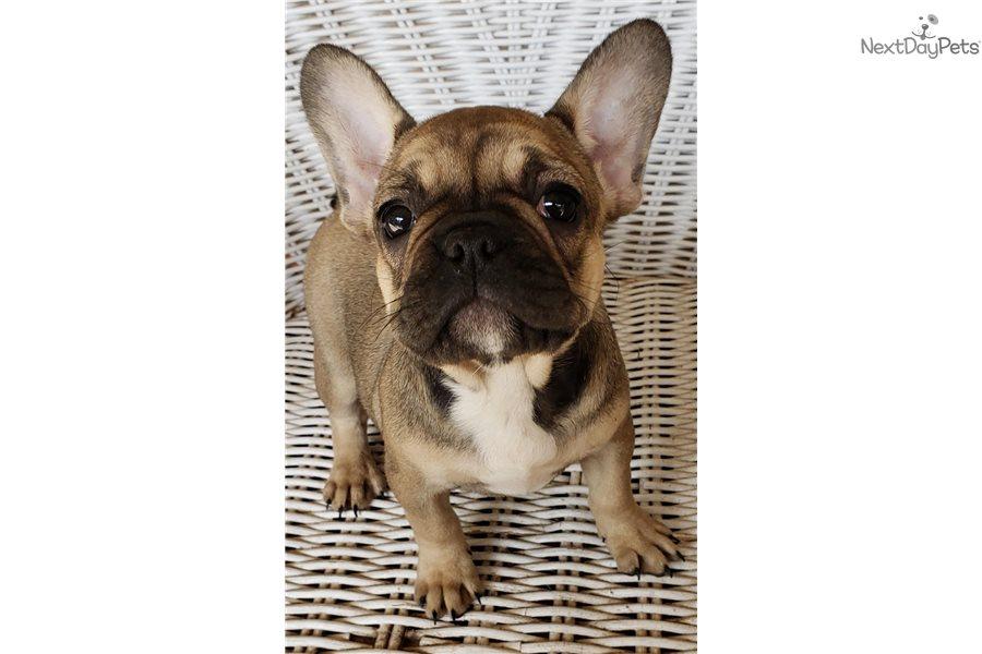 Remy: French Bulldog puppy for sale near Houston, Texas