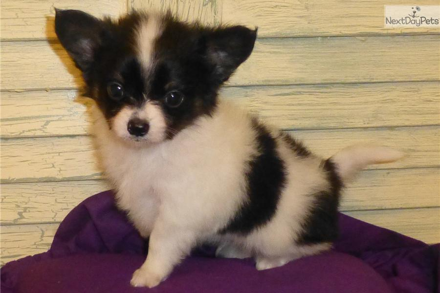 Meet Peppers A Cute Papillon Puppy For Sale For 600