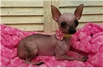 Picture of Tiny hairless Possum