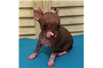 Picture of HAIRLESS LITTLE MELA