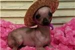 Picture of Tiny hairless Possum