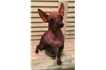 Picture of a Xoloitzcuintli Puppy