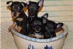 Picture of XOLO/RAT TERRIER -BLACK FEMALE SOFIA