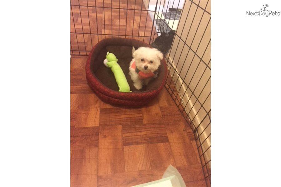 Mitzy Maltese Puppy For Sale Near Dallas Fort Worth Texas
