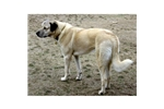 Featured Breeder of Anatolian Shepherds with Puppies For Sale