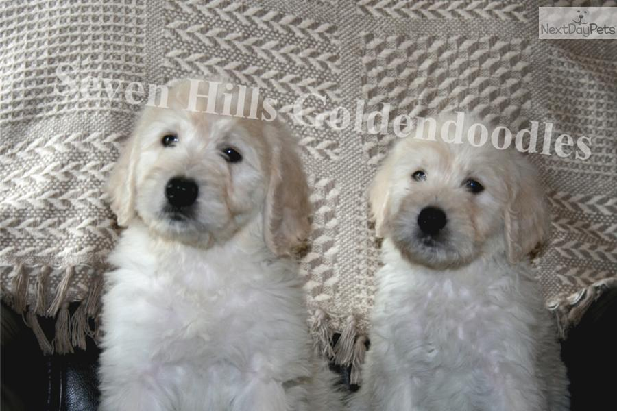 Goldendoodle Puppy For Sale Near Columbia Jeff City