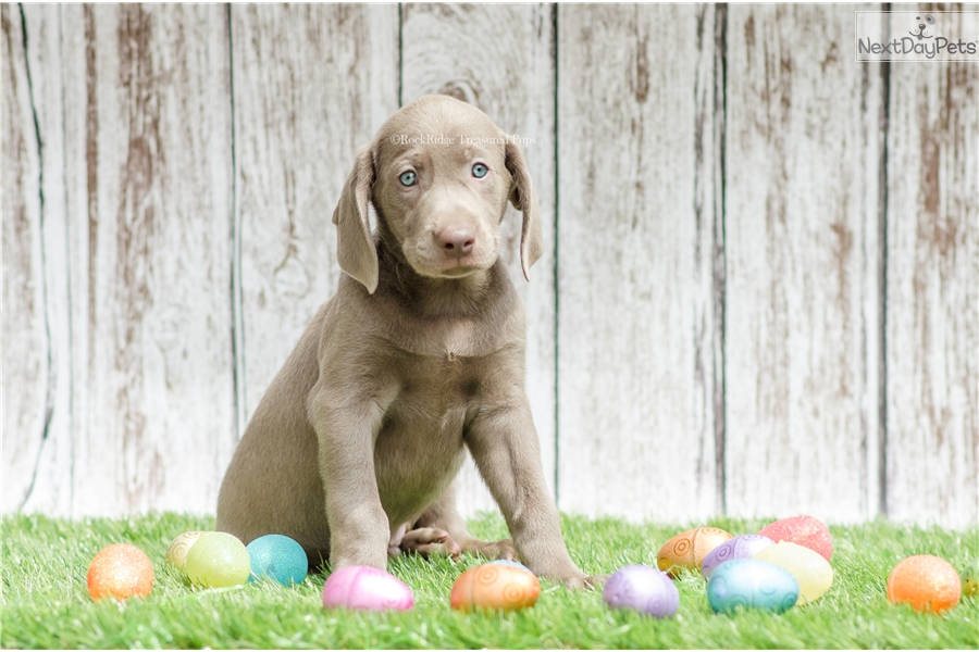 Colton Weimador Puppy For Sale Near Columbia Jeff City