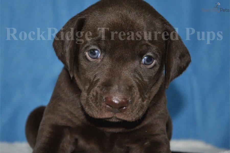 Meet Weimador A Cute Weimador Puppy For Sale For 800