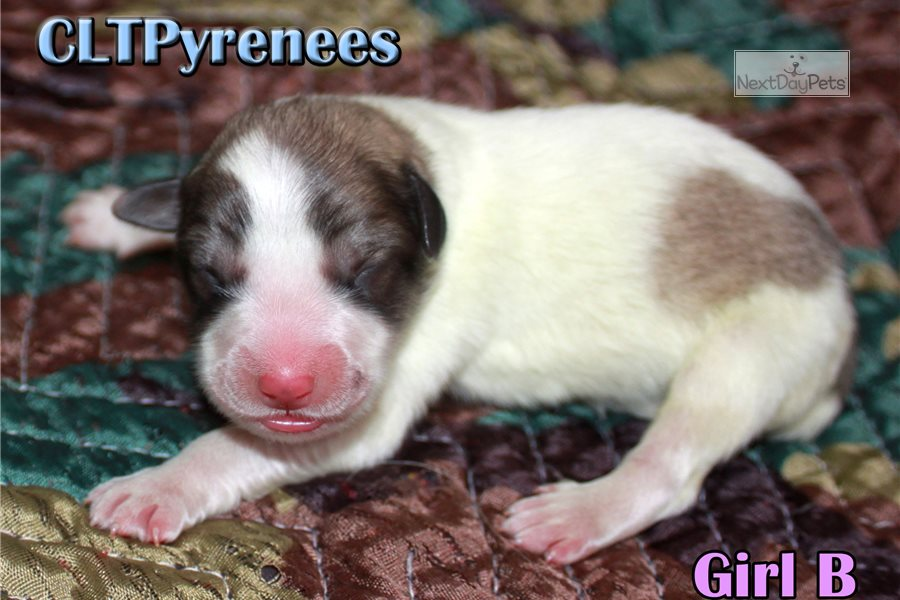 Pyr Boy: Great Pyrenees puppy for sale near Inland Empire ...