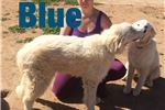 Picture of AKC Working Livestock Dogs