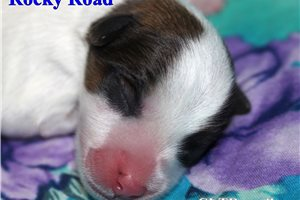 Russell Terriers for sale