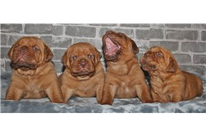 Dogue De Bordeauxes for sale