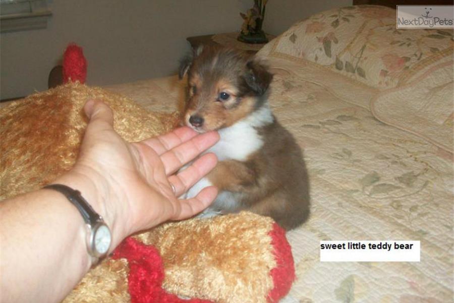 Teddy Bear Shetland Sheepdog Sheltie Puppy For Sale