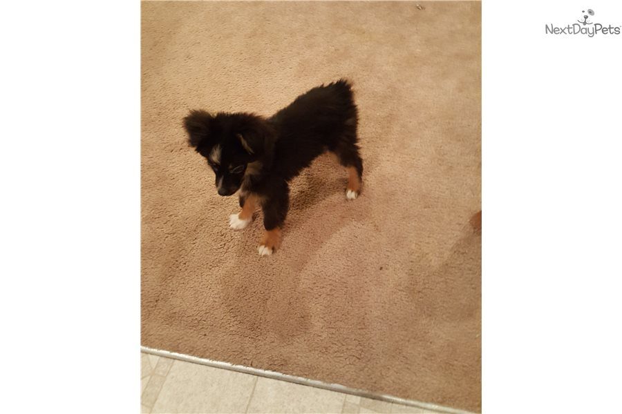 Tiny: Miniature Australian Shepherd puppy for sale near