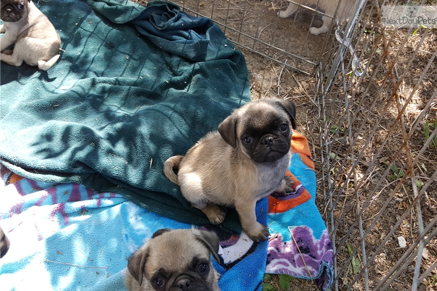 Pug puppy for sale near Bozeman, Montana | 5e432686-0281