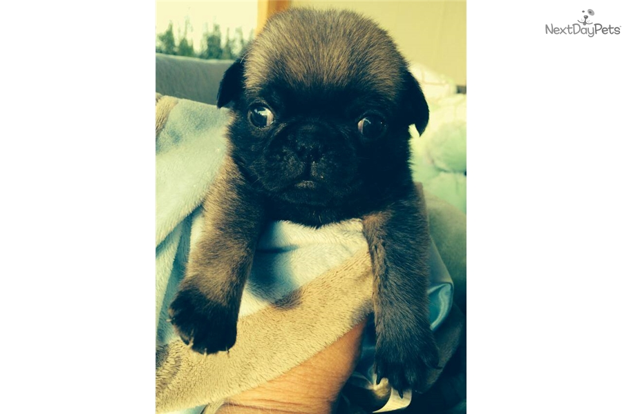 Pookie: Pug puppy for sale near Bozeman, Montana | da8096e4-26f1