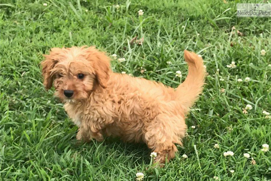 Mr Tibbs: Cavapoo puppy for sale near Gadsden-anniston
