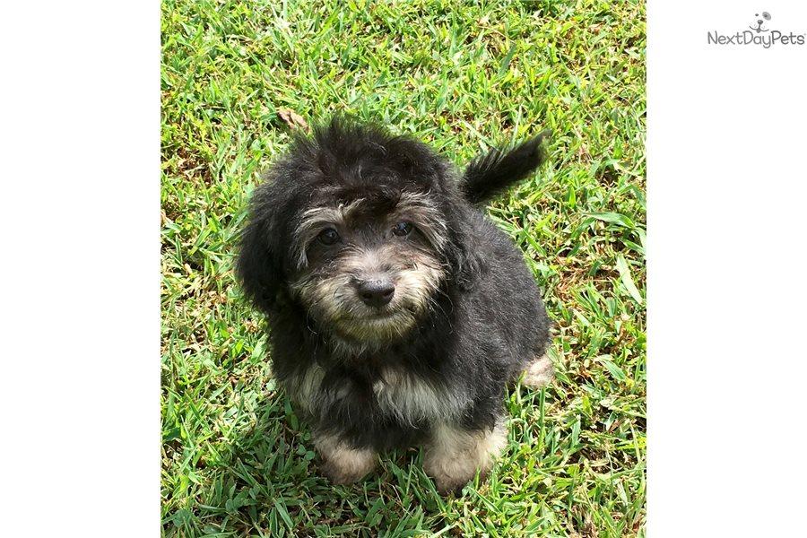 Oscar: Malti Poo - Maltipoo puppy for sale near Gadsden