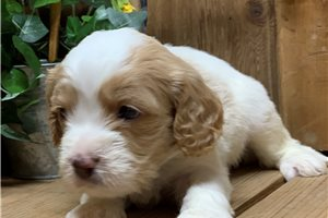 Cavapoos for sale