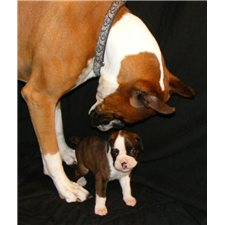 View full profile for Parsons Boxer Pups