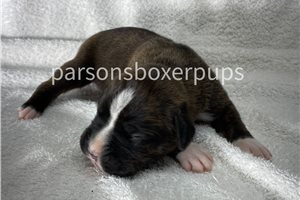 Picture of Akc Boss
