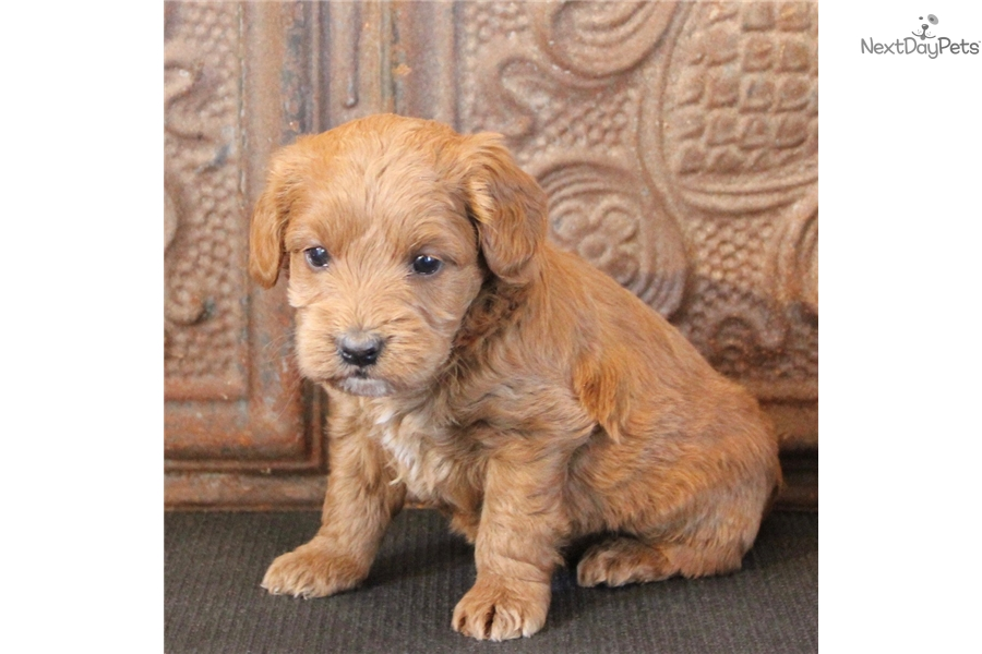 Sugar Labradoodle Puppy For Sale Near Toledo Ohio 8cd90010 1f41