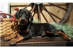 Picture of AKC Euro blk n rust  female earcrop incl.