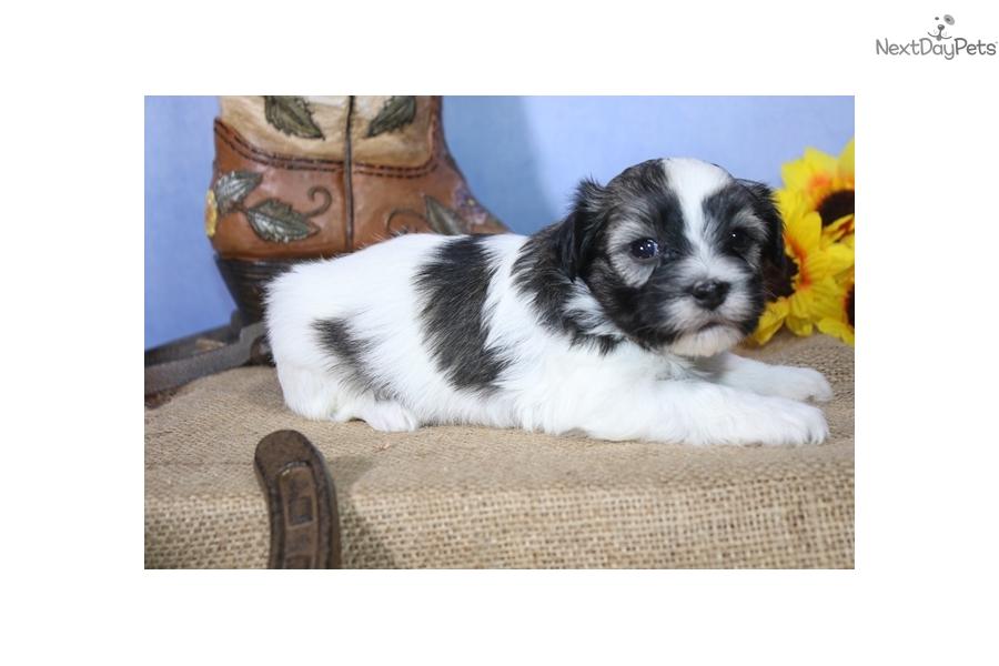 Ruffles Havanese Puppy For Sale Near Sioux City Iowa 6515ffdb 42f1