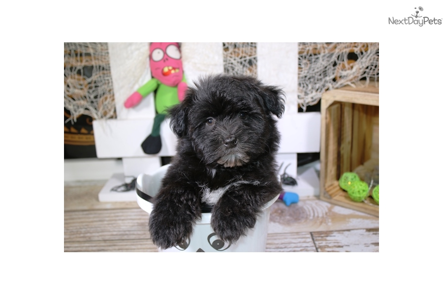 Brumley Havanese Puppy For Sale Near Sioux City Iowa Db0cb519 4fd1