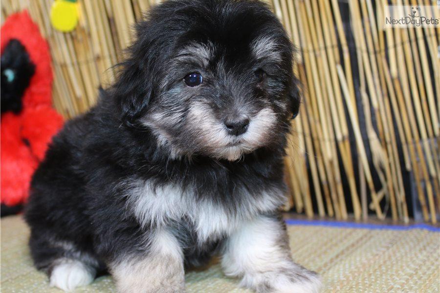 Havanese Puppy For Sale Near Sioux City Iowa 60d54c48 Dbb1